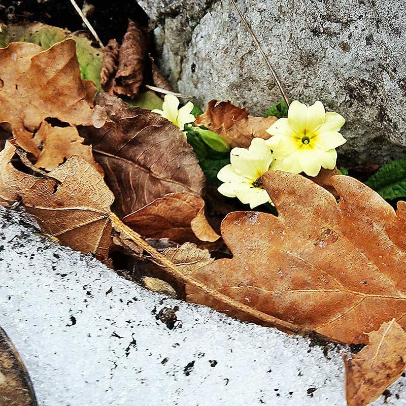 primula primavera sentierouno